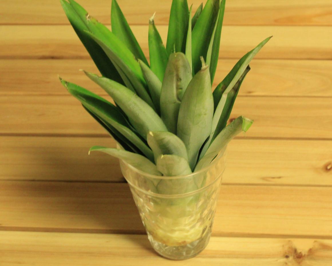パイナップルの水耕栽培